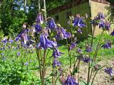 Многолетний цветок похожий на колокольчики